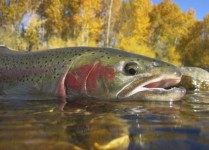 http://www.dreamstime.com/royalty-free-stock-photos-idaho-steelhead-trout-caught-boise-river-image30998008